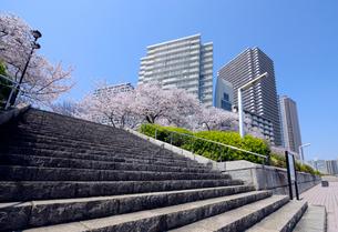 石川島公園の石の階段と満開のサクラと高層タワーマンションの写真素材 [FYI03409843]