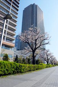 桜並木の石畳の通路と東雲の高層タワーマンションの写真素材 [FYI03409849]