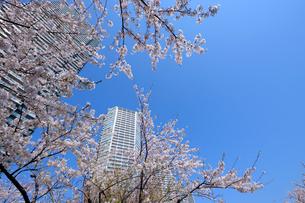 満開のサクラと東雲の高層タワーマンションの写真素材 [FYI03409853]