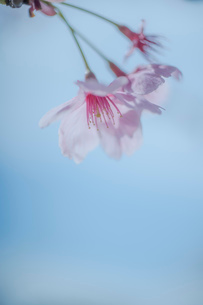 青空背景の桜の花のクローズアップの写真素材 [FYI03410078]