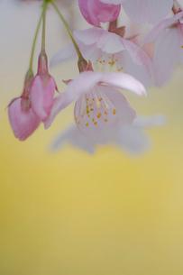 黄色背景の桜の花のクローズアップの写真素材 [FYI03410079]