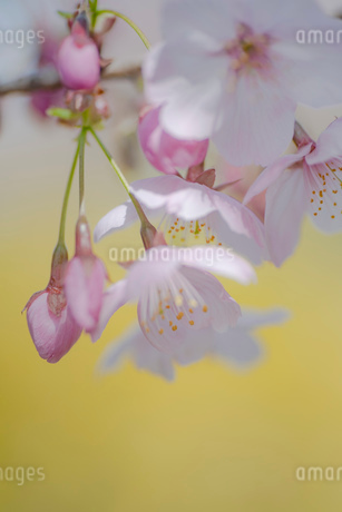 黄色背景の桜の花のクローズアップの写真素材 [FYI03410080]