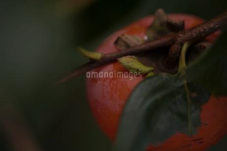 柿の実の写真素材 [FYI03410083]