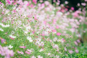 咲き乱れるコスモスの写真素材 [FYI03410089]
