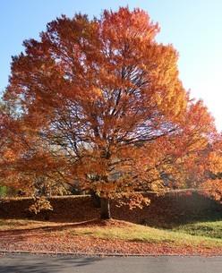 紅葉する樹の写真素材 [FYI03410285]