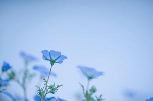 青空背景のネモフィラの写真素材 [FYI03410385]
