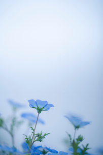 青空背景のネモフィラの写真素材 [FYI03410386]