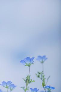 青空背景のネモフィラの写真素材 [FYI03410387]