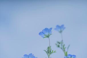 青空背景のネモフィラの写真素材 [FYI03410388]