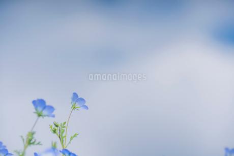 青空背景のネモフィラの写真素材 [FYI03410389]