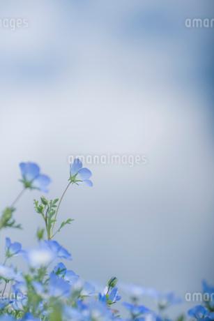 青空背景のネモフィラの写真素材 [FYI03410390]