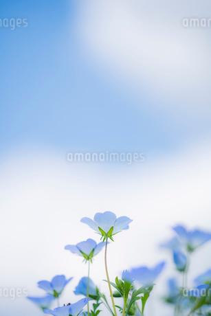 青空背景のネモフィラの写真素材 [FYI03410391]