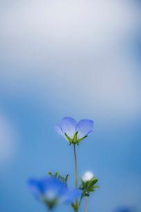青空背景のネモフィラの写真素材 [FYI03410392]
