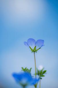 青空背景のネモフィラの写真素材 [FYI03410393]