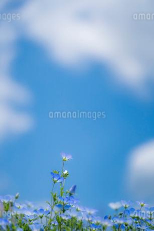 青空背景のネモフィラの写真素材 [FYI03410395]