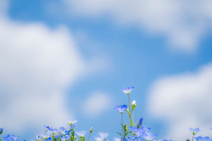 青空背景のネモフィラの写真素材 [FYI03410396]