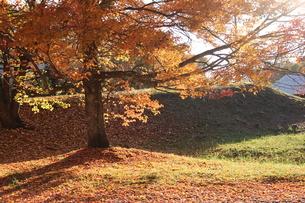 大樹の紅葉の写真素材 [FYI03410429]