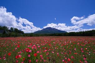 花の都公園 日本 山梨県 山中湖村の写真素材 [FYI03410435]