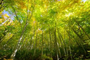 八甲田山付近のブナ林 日本 青森県 青森市の写真素材 [FYI03410441]