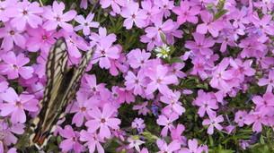 蝶々と花の写真素材 [FYI03410572]