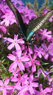 蝶々と花の写真素材 [FYI03410573]