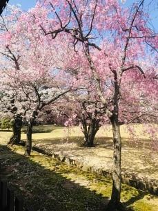 桜の写真素材 [FYI03410697]