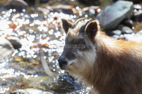 野生の日本カモシカの写真素材 [FYI03410756]