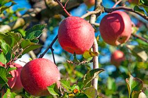 りんご畑の写真素材 [FYI03410860]