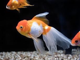 金魚 オランダシシガシラの写真素材 [FYI03410902]