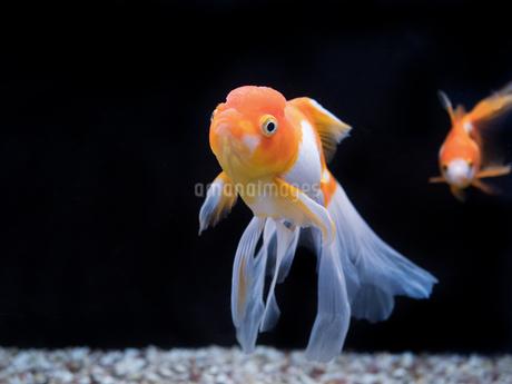 金魚 オランダシシガシラの写真素材 [FYI03410903]
