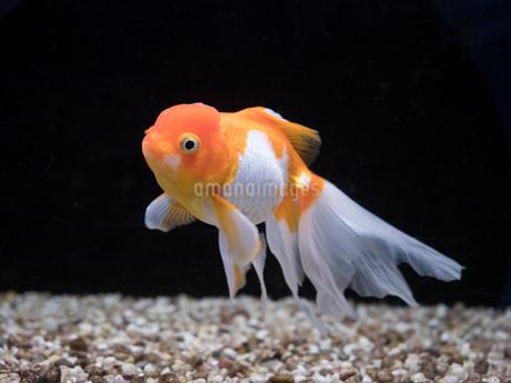 金魚 オランダシシガシラの写真素材 [FYI03410904]