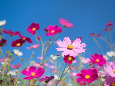 青空とコスモス畑の写真素材 [FYI03410907]