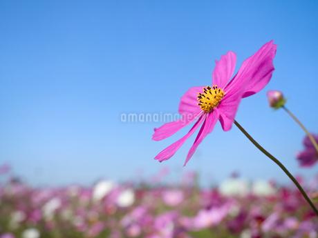 青空とコスモス畑の写真素材 [FYI03410908]