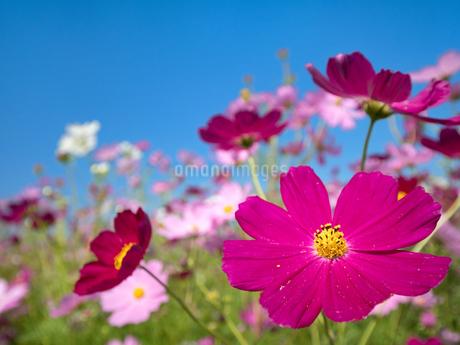 青空とコスモス畑の写真素材 [FYI03411092]