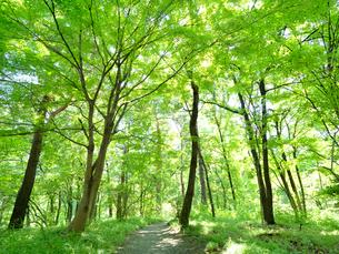 新緑の雑木林の写真素材 [FYI03411147]