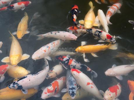 錦鯉の写真素材 [FYI03411301]