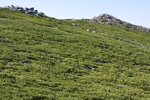 金峰山の東肩のハイマツの写真素材 [FYI03411448]
