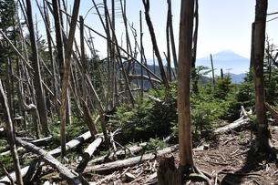 荒廃の森と富士の写真素材 [FYI03411739]