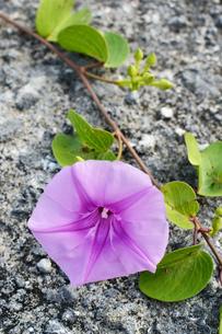 地面で育つグンバイヒルガオの花の写真素材 [FYI03411891]