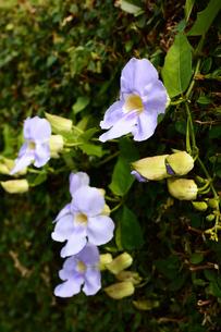紫色のベンガルヤハズカズラの花の写真素材 [FYI03411908]