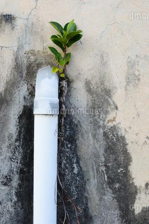 下水パイプの脇から育つ植物の写真素材 [FYI03411978]