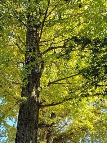秋の木漏れ日の写真素材 [FYI03411997]