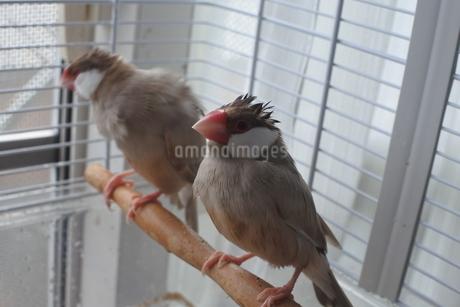 ロックなシナモン文鳥の写真素材 [FYI03412096]