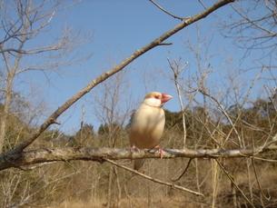 小枝にとまったシナモン文鳥の写真素材 [FYI03412102]