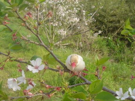 シナモン文鳥と桜の写真素材 [FYI03412104]