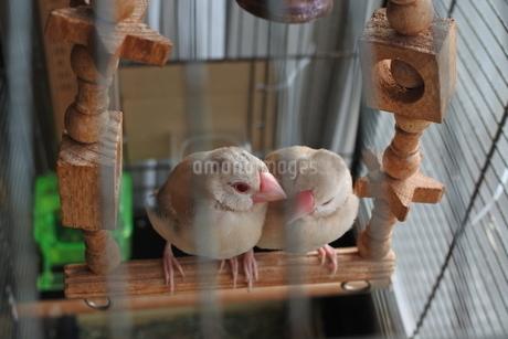 ブランコのシナモン文鳥の写真素材 [FYI03412130]