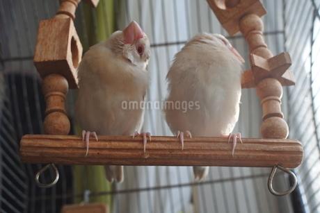 ブランコでくつろぐシナモン文鳥の写真素材 [FYI03412131]