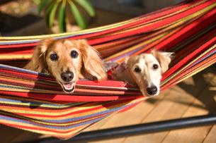 ハンモックに乗った犬の写真素材 [FYI03412203]