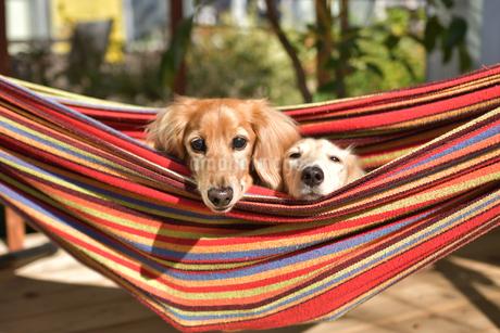 ハンモックに乗った犬の写真素材 [FYI03412204]