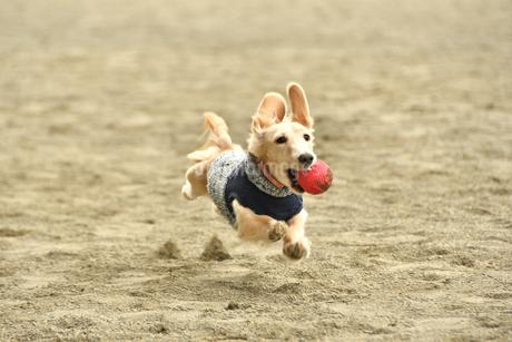 飛ぶ犬の写真素材 [FYI03412206]